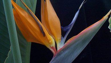 Photo of گیاه پرنده بهشتی