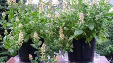 Photo of گیاه اسپرک باغی