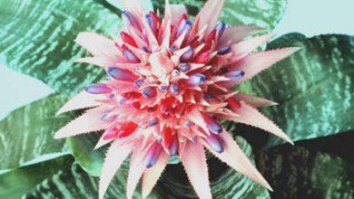 Photo of گیاه ایکمیا فاسکیاتا