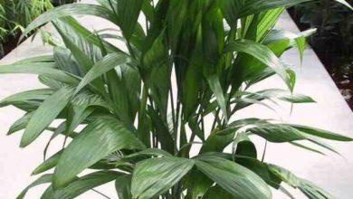 Photo of گیاه اریکا پالم وحشی