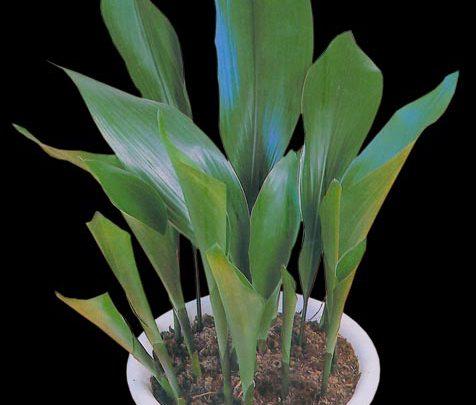 Photo of گیاه برگ عبایی