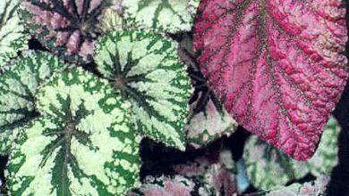 Photo of گیاه بگونیا برگی