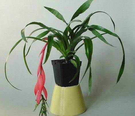 Photo of گیاه بیلبرجیا