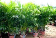 Photo of گیاه اریکا پالم