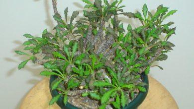 Photo of گیاه افوربیا دکاری