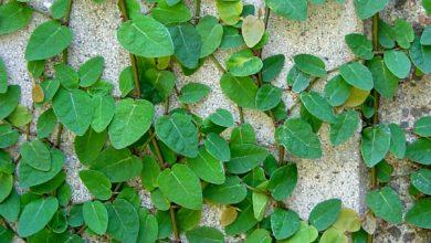 Photo of گیاه انجیر چسب
