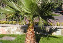 Photo of گیاه پالم بادبزنی