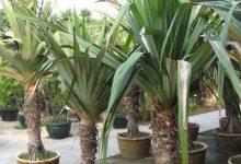 Photo of گیاه پاندانوس