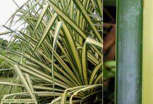 Photo of گیاه برگ خنجری یا پاندانوس