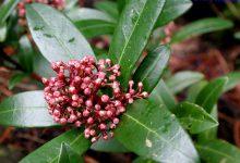 Photo of گیاه اسکیمیا ژاپنی