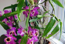 Photo of گیاه ارکیده دندروبیوم