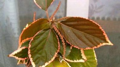 Photo of گیاه آکالیفا مارژیناتا