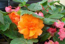 Photo of گیاه بگونیای غدهای