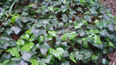 Photo of گیاه پاپیتال