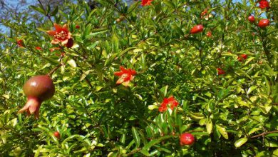 Photo of درخت انار