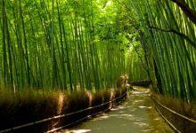Photo of عکسهایی از جنگل بامبو شهر کیوتو  ژاپن