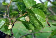 Photo of درخت توت سفید