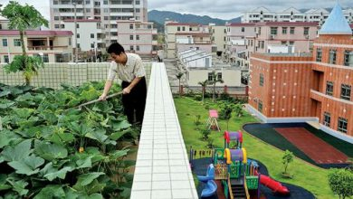 Photo of کشاورزی بر روی پشت بامهای شهر نیویورک