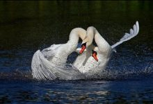 Photo of حیواناتی که تک همسری را انتخاب میکنند