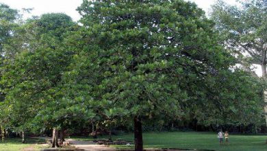Photo of درخت بادام گرمسیری