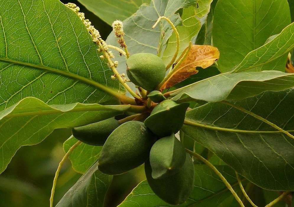 درخت بادام گرمسیری