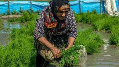 Photo of کاشت نشاء برنج در شالیزارهای چهاردانگه ساری