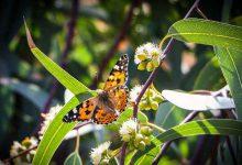 Photo of پرواز پروانه ها در ورامین