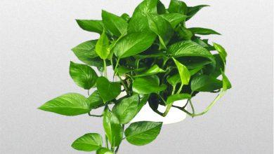 Photo of گیاه پوتوس