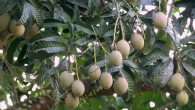 Photo of درخت انبه سفید