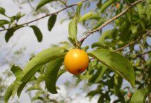 Photo of درخت آلوی تالو