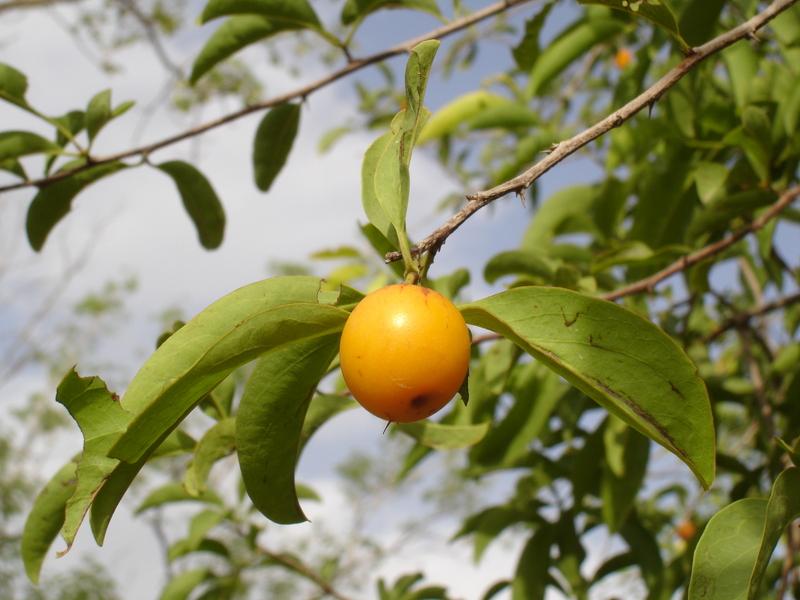 درخت آلوی تالو
