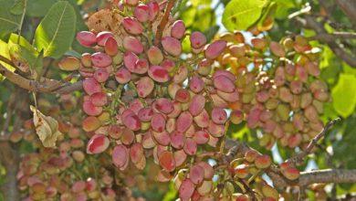 Photo of درخت پسته