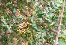 Photo of درخت بَنه