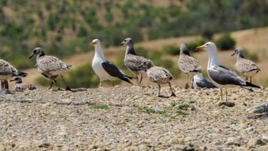 Photo of گونههای متنوع پرندگان در حاشيه درياچه سد زايندهرود