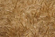 Photo of برداشت گندم در شهرستان ری