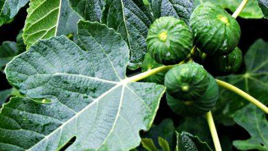 Photo of درخت انجیر