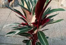 Photo of گیاه استرومانته سانگینیا