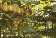 Photo of درخت کیوی