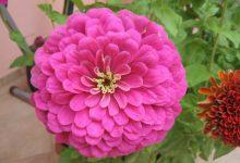 Photo of گل آهار