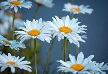 Photo of گل های مینای وحشی و چمنی