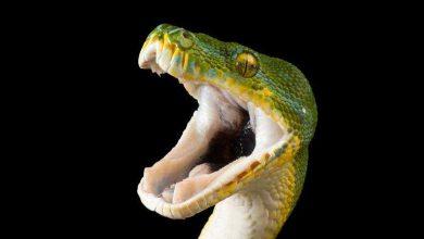 Photo of تصاویری از مارهای سمی و خطرناک جهان