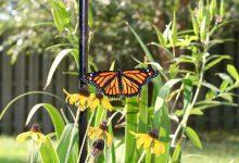 Photo of عکسهای از مراحل تبدیل یک کرم ابریشم به پروانه