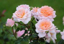 Photo of تصاویری زیبا از گل های رز