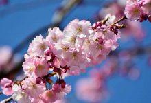 Photo of شکوفه های بهاری درختان گیلاس در ژاپن