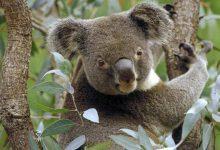 Photo of کوالا خرس تنبل و همیشه خواب!