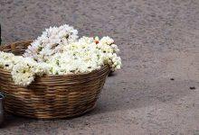 Photo of تصاویری زیبا از گل های یاس