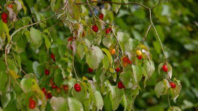 Photo of درخت زغال اخته