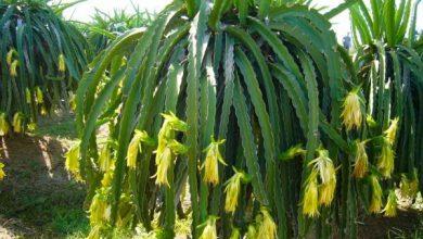 Photo of درخت پیتاهایا