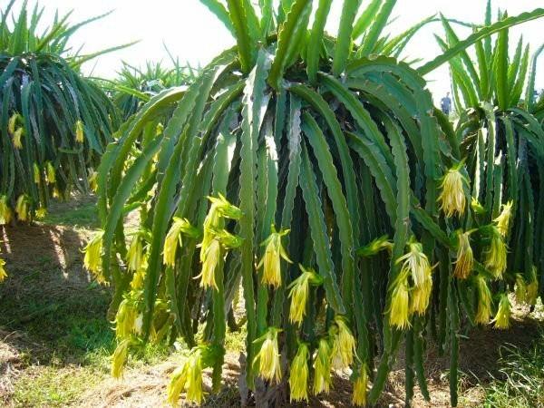 درخت پیتاهایا