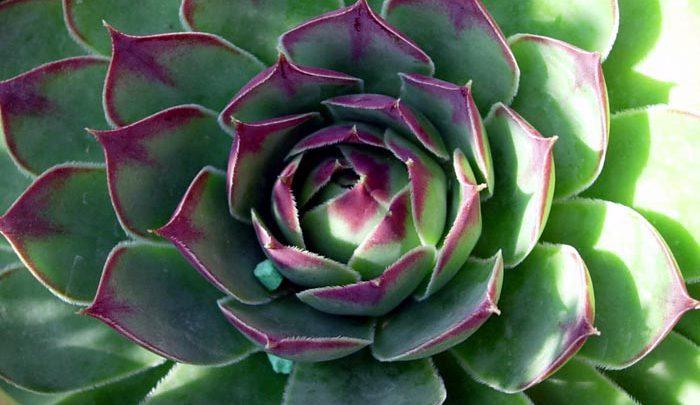 Photo of گیاه ابرون کبیر